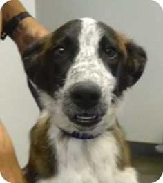 Tucson, AZ - Border Collie Mix. Meet BLINKY, a dog for adoption. http://www.adoptapet.com/pet/17831688-tucson-arizona-border-collie-mix
