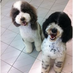Dexter & Guinness St.Party Poodles