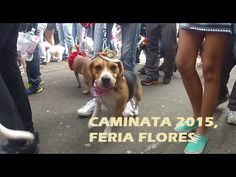 Caminata Canina Feria de las flores 2015 Dogs, Animals, Animales, Animaux, Pet Dogs, Doggies, Animal, Animais