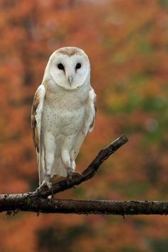 Common Barn Owl (Tyto Alba) by Megan Lawrence, Canadian Wildlife Federation Canadian Animals, Canadian Wildlife, Baby Barn Owl, Baby Owls, Owl Photos, Owl Pictures, Owl Pics, Beautiful Birds, Animals Beautiful