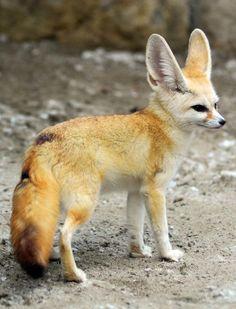 Adult Fennec Fox