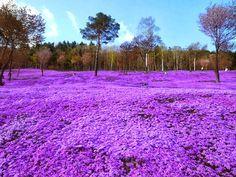 129 Places Worth Visiting Once in a Lifetime - Shibazakura Flowers, Takinoue Park, Japan Beautiful World, Beautiful Places, Beautiful Pictures, Amazing Places, Beautiful Scenery, Lago Baikal, Asahikawa, Places Worth Visiting, Parcs
