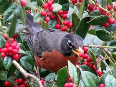 Robin eating holly beries