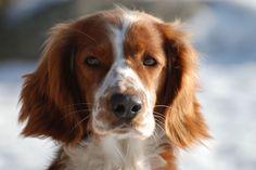 ...a dog with freckles .. welsh springer spaniel