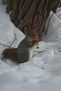 Hade besök av denna lilla ekorre  idag hemma och lyckades få några bra bilder :) här är en av dem