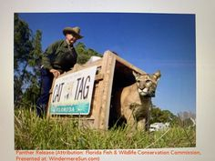 Panther Release Florida State Government, Florida Fish, Abc Activities, Apex Predator, Florida Panthers, Trust Fund, State Forest, Wildlife Conservation, Endangered Species