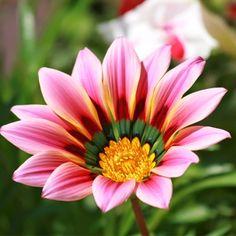 Gazania Big Kiss Sunflower Seeds