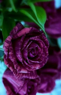 pink and red striped rose