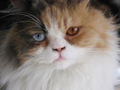 blogAuriMartini: Heterocromia em Gatos! http://wwwblogtche-auri.blogspot.com.br/2012/02/heterocromia-em-gatos.html