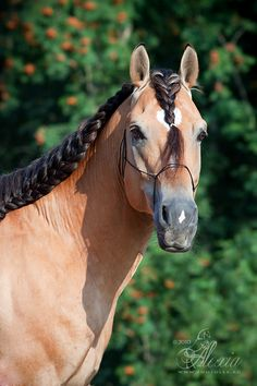 Byelorussian Harness Horse stallion Groshad