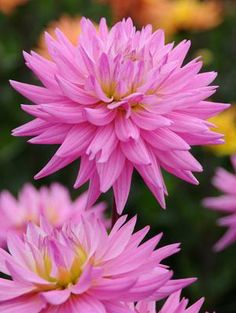 "Karma Pink Corona Dahlia (5-6"" bloom; 3' bush): pink; cactus."