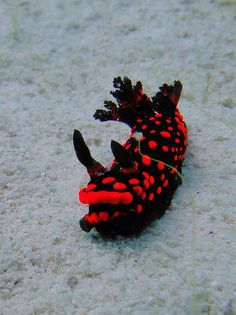 Red Nudibranch, most diverse, delightful little sea snails with their little lungs, looking like a tree....huh dress of amazing colors!