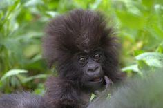 El bautizo de los gorilas de montaña en Ruanda El gorila de montaña (Gorilla beringei beringei) es una de las dos subespecies del gorila oriental. Actualmente sólo quedan dos poblaciones en libertad: en las montañas Virunga y en la selva de Bwindi. Entre las dos suman unos ochocientos animales.