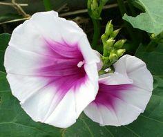 Blooms on Beauregard Sweet Potato Vine
