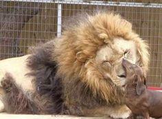 Leão de 226 kg é amigo inseparável de cão 'salsicha'