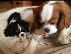 ♥ Puppies For Sale, Cute Puppies, Cute Dogs, King Charles Spaniel, Cavalier King Charles, Dog Life, Funny Photos, Animals And Pets, Kitty