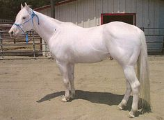 """Camarillo White Horse's history started in early 20th century when white stallion Sultan was born. Later it was bought by Adolfo Camarillo who bred it with Morgan mares and Sultan passed on its color. They were popular as, for example, parade horses. The breed association (CHWA) was founded in 1992 when there were only few white horses of Camarillo ancestry left. CWHA is not a color registry, its motto is """"Breed for conformation and pray for a white foal"""". CWH's carry W4 allele."""