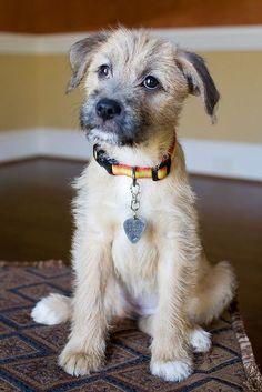 Cute Little Border Terrier Puppy - Aww! Mutt Puppies, Mutt Dog, Dog Cat, Chihuahua Dogs, Pet Dogs, Doggies, Puppies Tips, Border Terrier Puppy, Pitbull Terrier