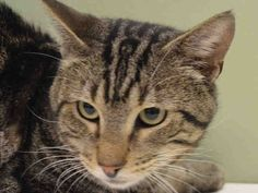KORS - A1038738   ***TO BE DESTROYED 06/12/15***TERRIFIC BEGINNER TABBY NEEDS YOU! ...  http://nyccats.urgentpodr.org/kors-a1038738/
