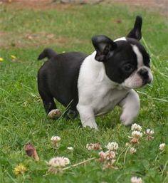 French bulldog/Boston terrier mix