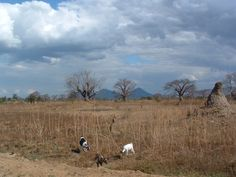 goats and termite mound in Malawi http://www.trailheadstudios.com