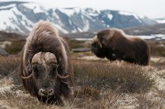 Muskoxen - An Ice Age adapted species still living