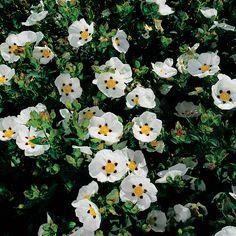 Cistus x dansereaui Decumbens - Rock Rose - Dobbies Garden Centres Landscaping Supplies, Garden Supplies, Landscape Design, Garden Design, Sunken Garden, White Gardens, Coastal Gardens, Moon Garden, Low Maintenance Garden