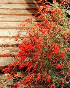 Zauschneria cana 'Hollywood Flame' California Fuchsia.