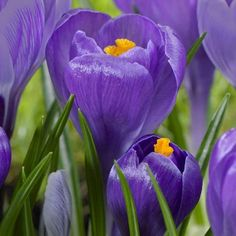 Crocus Giant Remembrance, GREAT FOR bedding, Rock gardens,borders,and More - TopSize 8/9cm, Fall Planting Bulb, Now Shipping !