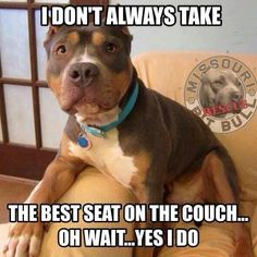 This is Roadie - he always has to move into your spot as soon as you get up!! ..~ pitbullpersonalchecks.com