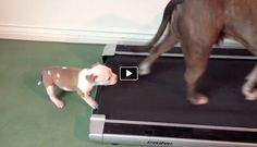 Peace Love and Pitbulls, a training and rescue organization in Las Vegas, with their newest rescue puppy named Bandit trying to get the hang of a treadmill as o