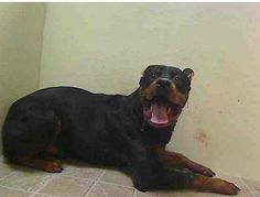 TO BE DESTROYED - 12/22/13Brooklyn Center  BOLO. My Animal ID # is A0987668  Male black and brown Rottweiler mix. 4 YEARS STRAY 12/18/13 This poor boy isn't getting any breaks. Brought to high kill shelter, on death row, injured bottom jaw-during rabies pole shot, TERRIFIED DURING INTAKE! This baby needs more than a hero. HOW BIG IS YOUR HEART?