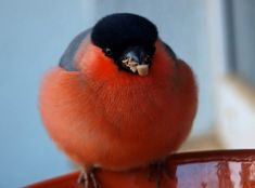 Free Pictures, Free Images, Bullfinch, Bird Feathers, Birds, Animals, Animales, Animaux, Bird