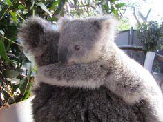 Koala Joey, Taronga Zoo - Photo by Jane Edwards Cute Funny Animals, Cute Baby Animals, Animals And Pets, Wild Animals, Australian Animals, Tier Fotos, Animal Faces, Fauna, Nature