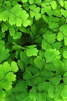 Venus Maidenhair Fern