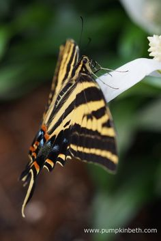 The Western Tiger Swallowtail Butterfly, also known by its scientific name of Papilio rutulus, pictured inside the Butterfly Dome, at the RHS Hampton Court Palace Flower Show Hampton Court Flower Show, Rhs Hampton Court, Palace, Butterflies, Exotic, Tropical, Pumpkin, Flowers, Beautiful