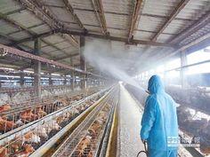屏東爆禽流感疫情,彰化縣是全國最大雞蛋產地,養雞場逾800家,一旦發生疫情,影響層面大。昨雖逢假日,亦不敢掉以輕心,派出防疫人員進入養雞場噴灑消毒藥。(洪璧珍翻攝)