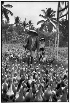 Henri Cartier-Bresson // Indonesia, 1949 -- Java. Taking duck for feed.