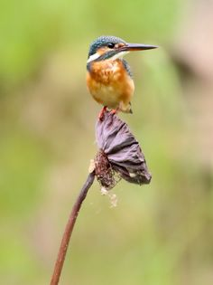 The Common Kingfisher perched on a lotus pod.