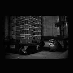 https://flic.kr/p/yzWqzy | Mayu October 2015  #cat #smallcats #blackandwhitephotography