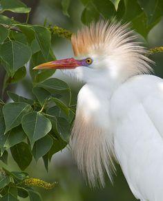 Breeding plumage, cattle egret by amaw, via Flickr