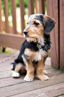 Image of 'A cute mixed breed puppy laying on the deck The dog is half beagle and half yorkshire terrier Shallow depth of field'.      Want!