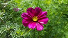 Magnificent cosmos holds the essence of inspiration. An it grows abundantly at Orchard Oast Flowers. So if you need some inspiration, I will add cosmos into your floral design for you.