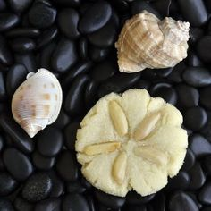 Almond Sand Dollar Sugar Cookies ~ perfect for a beach theme party, shower or wedding