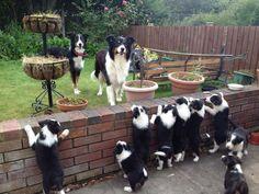 Border Collie family!