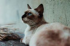 Do you constantly worry that your car is not getting enough exercise or playtime? Different cats have varied personalities. Some of them are very active Siamese Cat Breeders, Siamese Cats, Cats And Kittens, Tonkinese, Rex Cat, Outdoor Cats, Cat Dad, Cat Names, Cat Health