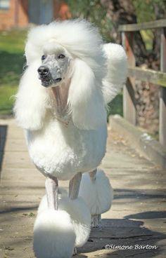 Glamorous Poodle by Simone Barton on 500px