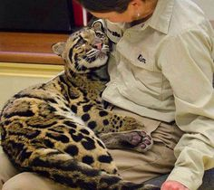 Ganda, an 8-month-old clouded leopard cub, with her trainer, San Diego Zoo