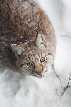 Winter Lynx Look by JRL5 on DeviantArt