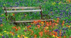 The big bloom in Texas is always led by the state flower, the Texas Bluebonnet and bright Indian Paintbrush, shown above in a Texas shown above in a Texas Hill Country meadow. Photo by Don Paulson. Meadow Garden, Lawn And Garden, Garden Seat, Indian Paintbrush, Wildflower Seeds, Edible Garden, Planting Seeds, Garden Inspiration, The Great Outdoors